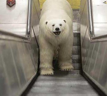 خرس قطبی-در-لندن polar-Bear-in-London-1